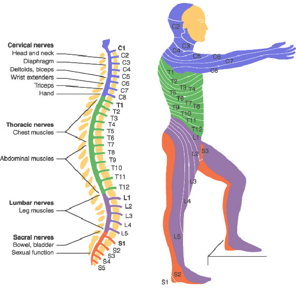 spinal cord segments